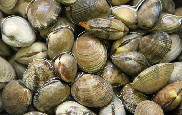 Pesca. Vongole, approvata risoluzione PD per rivedere norme su divieto raccolta sotto la taglia dei 2,5 centrimentri e mutare in amministrative le sanzioni penali