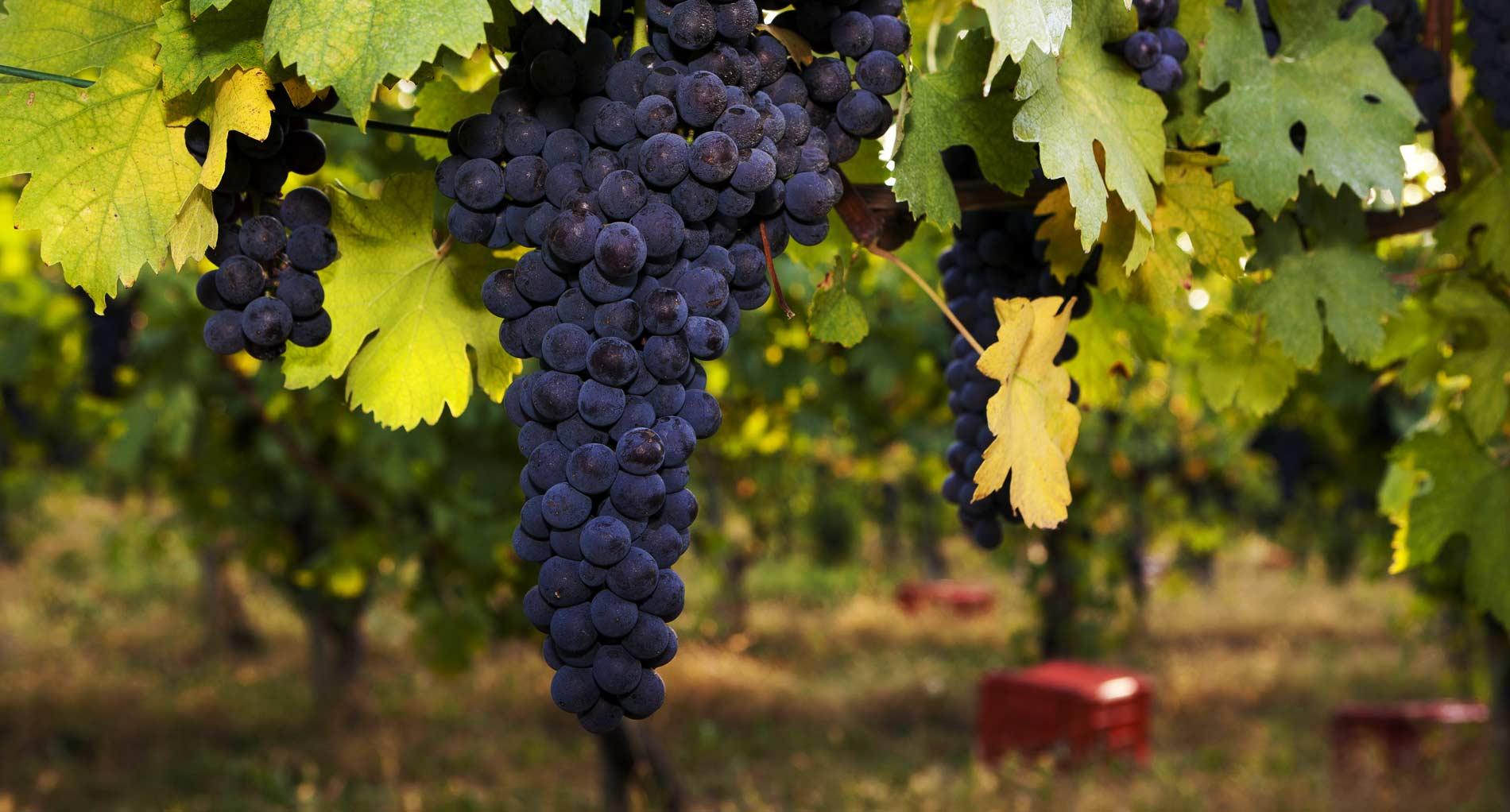 """Bessi: """"Aiuti alla aziende vitivinicole, nuovo bando regionale"""""""