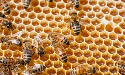 """Dalla Regione 490mila euro per l'apicoltura. Marchetti: """"Ottima notizia per il settore"""""""