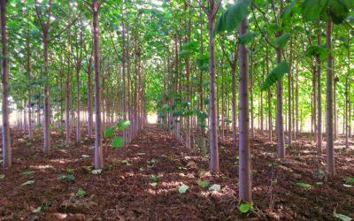 """Serri: """"Fondi per sovvenzionare la coltivazione della Paulownia in Emilia-Romagna"""""""